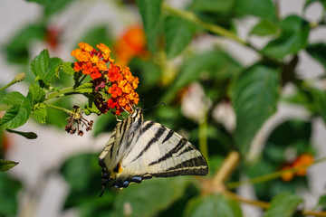 Swallowtail butterfly drinks nectar sitting on a lantana flower