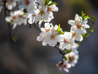Spring blossom background. Close up of blooming almond tree. Pink flowers on a tree