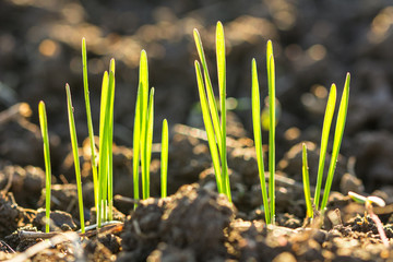 Closeup macro shot of green blades of grass growing from dark soil in spring