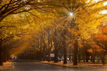 Hokkaido University Ginkgo in autumn
