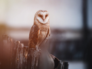 Tuinposter Uil Barn owl (Tyto alba) sitting on a wooden fence. Winter village in background. Barn owl portrait. Owl sitting on fence. Owl on fence.