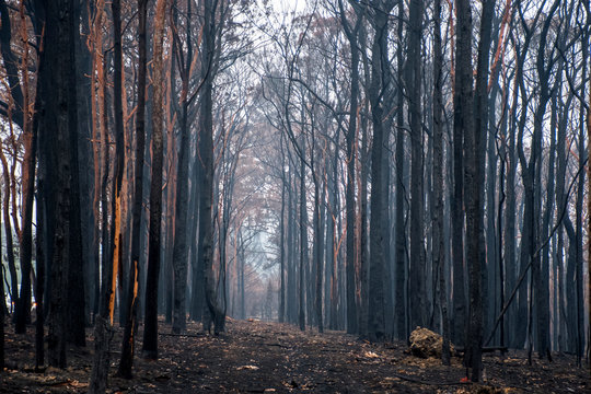 Australian bushfires aftermath: burnt eucalyptus trees damaged by the fire