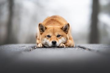 chien shiba inu dans le gel Fotobehang