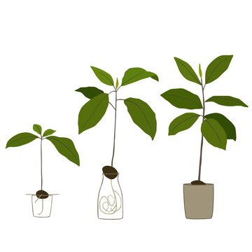 Growing an avocado tree. Vector illustration.