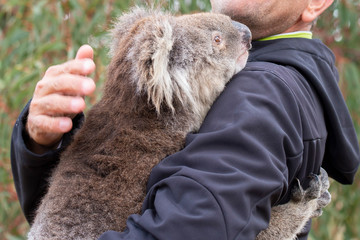 Deurstickers Koala rescued koala in australia after bush fire