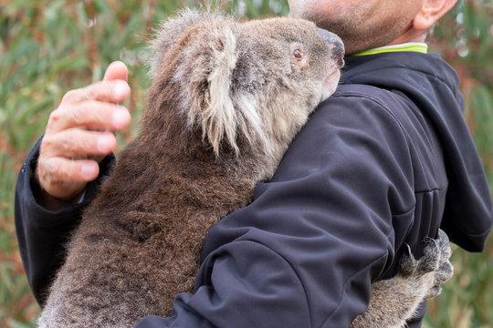 rescued koala in australia after bush fire