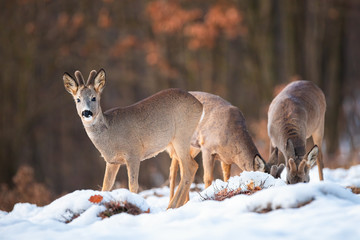 Three roe deer bucks, capreolus capreolus, feeding and looking in winter nature. Harmonious group of animals with brown fur grazing on a grass hidden under frost.