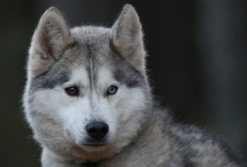 A husky is tethered before a training run for this weekend's annual Aviemore Sled Dog Rally, Feshiebridge, Scotland