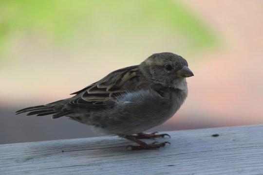 Spatz Haussperling heimische Vögel