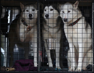 Huskies sit in a van following a training run for this weekend's annual Aviemore Sled Dog Rally, Feshiebridge, Scotland