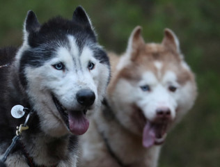 Huskies complete a training run for this weekend's annual Aviemore Sled Dog Rally, Feshiebridge, Scotland
