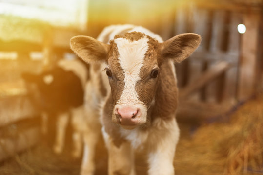 Cute calf looks into the object. A cow stands inside a ranch next to hay and other calves