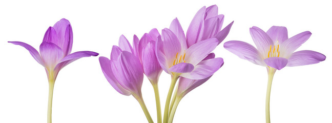 Photo sur cadre textile Crocus light lilac crocus flowers set on white