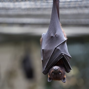 Closeup of a brown bat looking at the camera with a blurry background