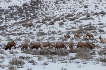 Bighorn Sheep in Winter n Wyoming