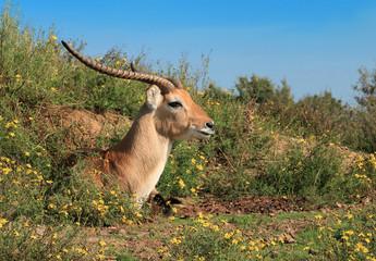Garden Poster Antelope Antilope couchée au soleil sur un fond de ciel bleu.