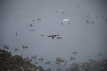 Ducks on the river in the mist. Fog over the pond.