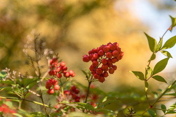 Fruits of Nandina Domestica on the branches of the plant