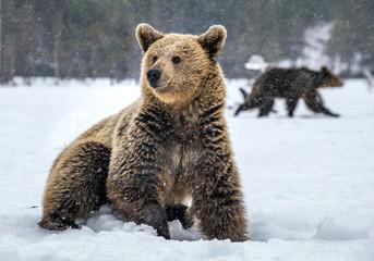 Wild Adult Brown bear in winter forest. Scientific name: Ursus Arctos. Natural Habitat.