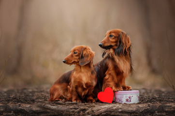 themed photo Valentine's Day two dogs in love long-haired dachshund beautiful portrait magic photo