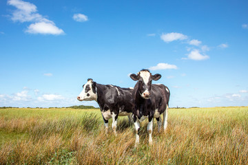Poster de jardin Vache Two black and white cows standing in the salt marshes of Schiermonnikoog under a blue sky and a faraway horizon.