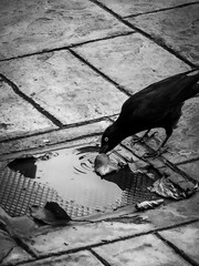 Thirsty Crow Drinking From A Puddle of Water Under A Leaf In Black and White