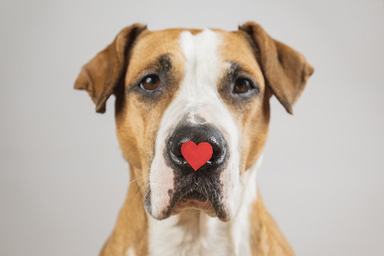 Portrait of a dog with a heart shape on his nose, studio shot. Saint valentine's day concept. The concept of unconditional love and affection for your pet