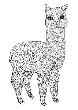 Llama sketch black line isolated on white background, coloring book, vector illustration