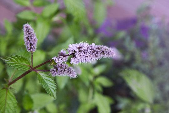Fresh mint blossoms outdoors, mint flowers close up