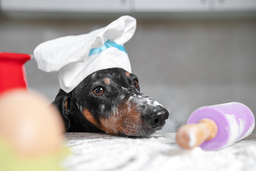 Close up portrait of black and tan dachshund baker in white chef hat putting its head on the kitchen table, all in flour. Cooking process, dough roll and ingredients. Indoors, funny picture.