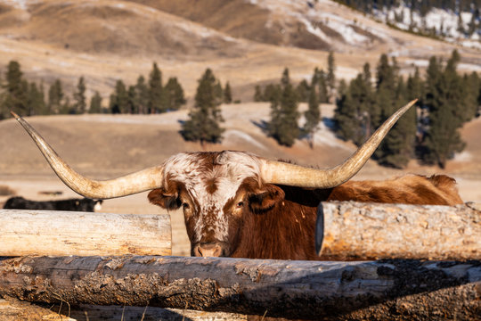 Longhorn cattle on ranch