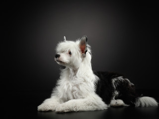 Chinese crested dog on a dark background. Pet in the studio.