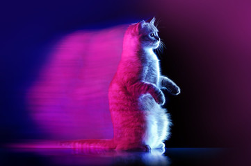 Begging sitting cat with neon blue and purple illumination