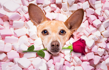 Keuken foto achterwand Crazy dog valentines wedding dog in love wit rose