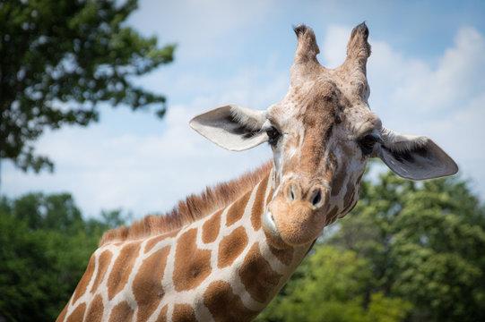 Curious giraffe looks at you head shot close up portrait.