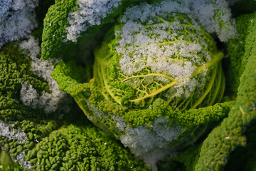 Wilting green savoy cabbage is in winter in the field and partly covered by fresh snow, in agriculture and nature