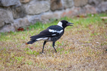Juvenile Murray Magpie bird in a suburban front yard
