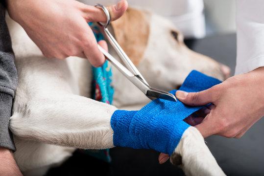 Veterinarian taking care of injured dog