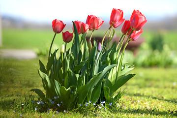 Keuken foto achterwand Tulp Tulpen auf einer Wiese - Tulips in a meadow