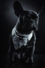 french bulldog portrait, elegant black and white image