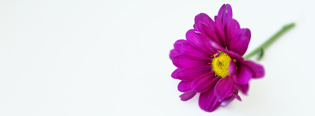 Horizontal picture of magenta purple flower isolated on a white background in right part. Macro. Cover. Big shaggy flower. For design. Dahlia. Copy space for text