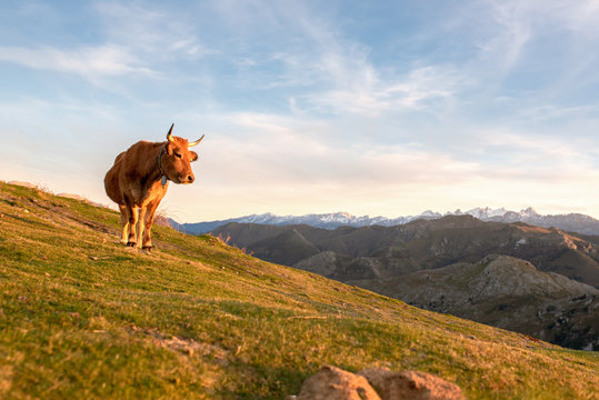 """Cattle grazing free on the mountain. Cows of breed """"Aubrac"""" in freedom. Concept of ecological and sustainable livestock."""