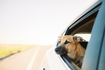 Cute brown Formosan mountain dog looking out of a car window during daytime