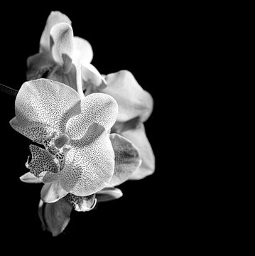 white orchid on black background - monochromatic picture