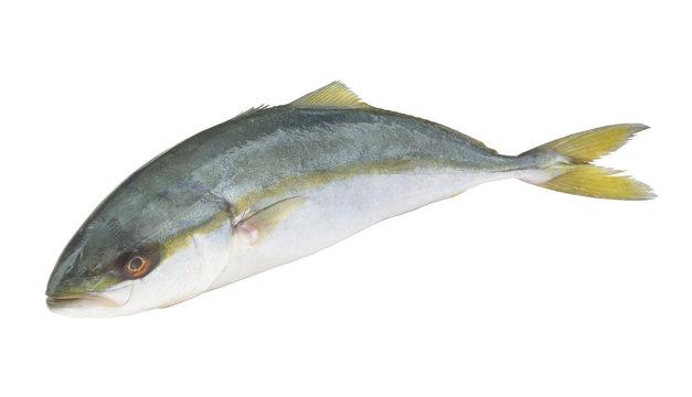 Yellowtail amberjack fish isolated on white background