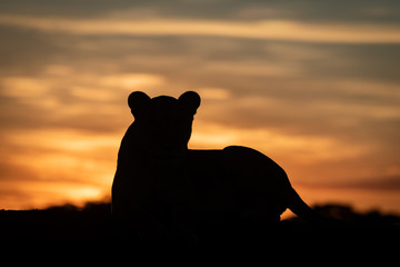Lioness lying silhouetted at dawn turning head