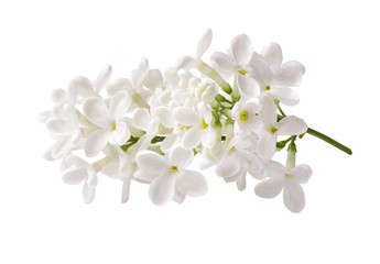 Photo sur Aluminium Lilac Branch of white lilac flowers isolated on white background.