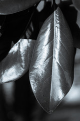 Selenium toned black and white vertical of shiny southern magnolia leaves