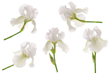 White iris flower head on stem isolated on white background. Set or collection for floral design for garden packaging