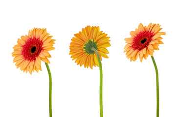 Poster Gerbera Three orange gerbera daisy flower on stem isolated on white background with clipping path